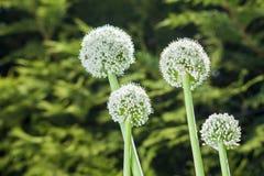 Lauchblumen stockfoto