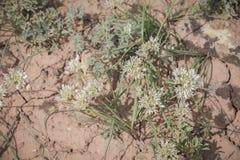 Lauchgewebe- Textil-Zwiebel-wilde Zwiebel Wildflowers in Nordwest-Colorado stockbilder