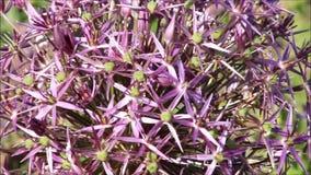 Lauchzwiebel-Blumenbewegung stock footage