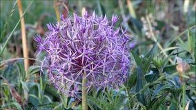 Lauchzwiebel-Blumenbewegung im Wind stock footage