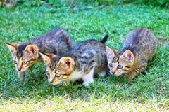 Lauern mit drei Miezekatzen lizenzfreies stockfoto