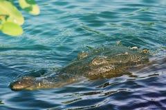 Lauerndes Krokodil stockbilder