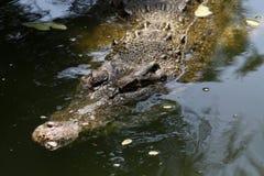 Lauerndes Krokodil Stockfoto