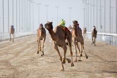 Laufen der Kamele stockbild