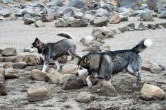Laufen der sibirischen Huskys lizenzfreies stockbild