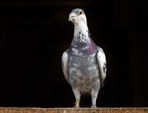 Laufen der Taube Stockfoto