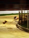 Laufen der Windhunde   lizenzfreie stockbilder