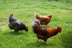 Laufen des jungen Hahns und der Hühner Stockbilder