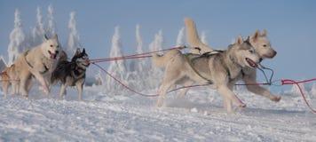 Laufen dogsled von den sibirischen Schlittenhunden stockfotografie