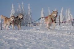 Laufen dogsled von den sibirischen Schlittenhunden stockbilder