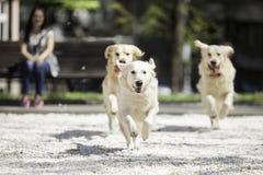 Laufen mit drei goldenen Retrievern Lizenzfreie Stockbilder
