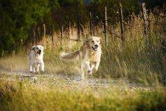 Laufen mit zwei goldenen Apportierhunden Lizenzfreie Stockfotos