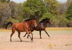 Laufen mit zwei Pferden in der Weide Lizenzfreie Stockfotografie