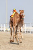 Laufen von Kamelen in Katar stockbilder
