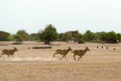 Laufende Barbary-Schafe Stockfoto