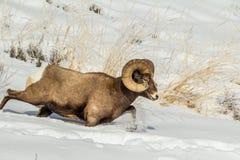 Laufende Bighorn-Schafe Lizenzfreie Stockbilder