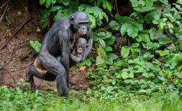Laufende Bonobomutter mit Jungem auf den Händen Lizenzfreie Stockfotos