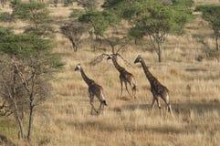 Laufende Giraffen Stockfotos