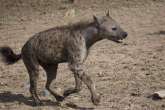 Laufende Hyäne stockbilder