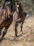 Laufende Pferde entlang grasartiger Spur stockfotos