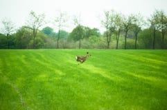 Laufende Rotwild Stockfotos