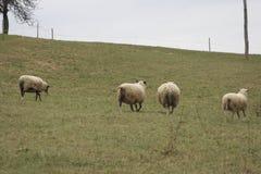 Laufende Schafe Stockfotografie
