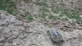 Laufende Schildkröte stock video footage
