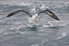 Laufender Albatros Stockfotos