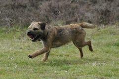 Laufender Border Terrier Stockbild