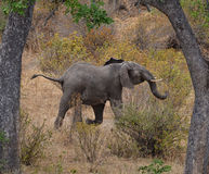 Laufender Elefant Stockfoto