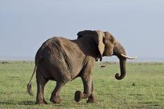 Laufender Elefant, der Stoßzähne zeigt Stockfotografie