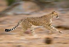 Laufender Gepard Lizenzfreies Stockfoto
