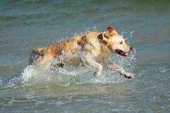 Laufender goldener Apportierhund lizenzfreie stockbilder