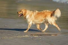 Laufender goldener Apportierhund lizenzfreies stockfoto