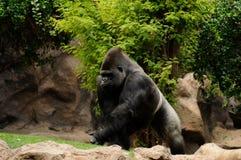 Laufender Gorilla Lizenzfreie Stockbilder