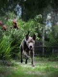 Laufender großer grauer Hund im Sommerwald Stockfoto