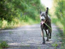 Laufender großer grauer Hund im Sommerwald Lizenzfreies Stockbild
