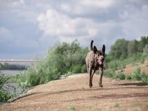 Laufender großer grauer Hund im Sommerwald Lizenzfreie Stockbilder