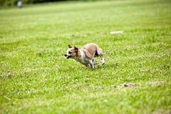 Laufender Hund lizenzfreie stockfotografie