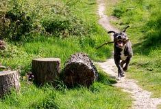 Laufender Hund Lizenzfreie Stockfotos