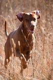 Laufender Hund Stockfoto