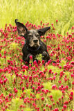 Laufender Hund auf dem roten Kleegebiet Lizenzfreie Stockbilder