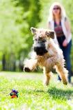 Laufender Hund auf grünem Gras Stockbilder