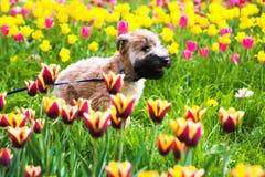 Laufender Hund auf Tulpen Lizenzfreies Stockbild