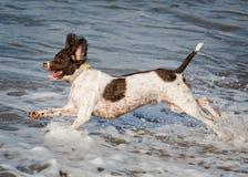 Laufender Hund in der Brandung Stockfotografie
