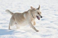 Laufender Hund im Schnee Stockfotografie