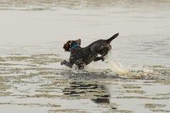Laufender Hund im Wasser Stockfotos