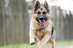Laufender Hund - Schäferhund Stockfotografie