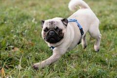 Laufender Pug Stockbild