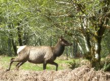 Laufender Roosevelt Elk Stockbild